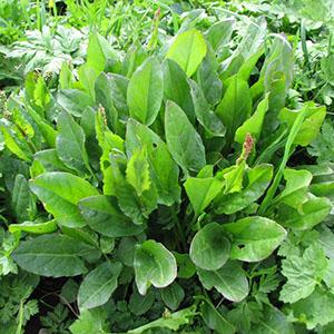 Acetosa Agricentro Ariccia