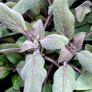 Salvia Purpurea Agricentro Ariccia