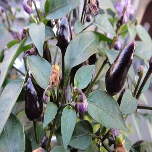 Violetto o fuoco nero Agricentro Ariccia